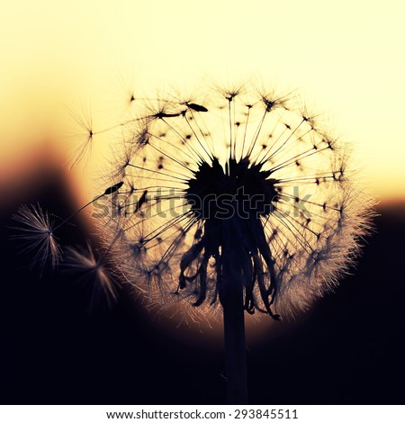 head of dandelion close up at sunset - stock photo