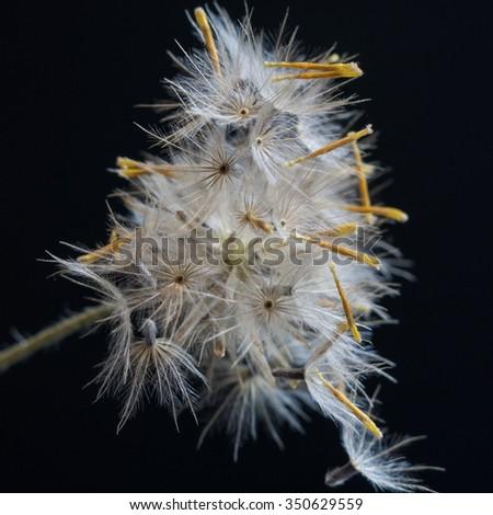 Head of dandelion close-up on black background. - stock photo
