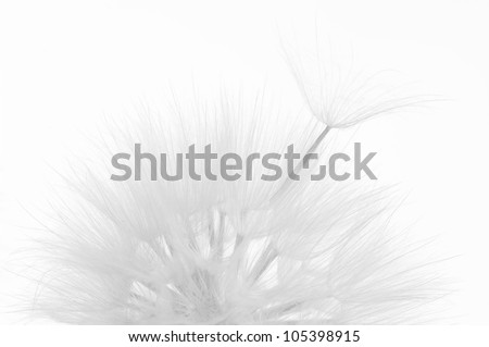 Head of dandelion close-up on white background. Black&white, high key. - stock photo