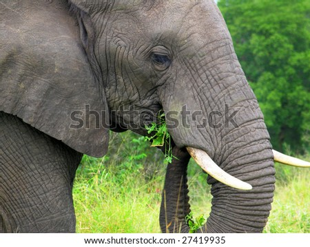 Head of elephant