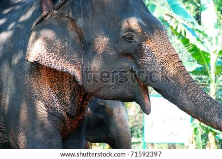 head of elephant - stock photo