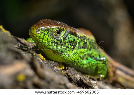 Head of European green lizard. Closeup