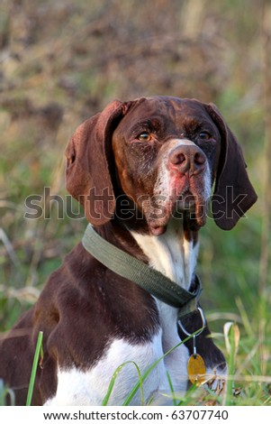 Head of German shorthaired pointer