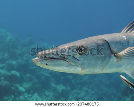 Head of great barracuda (Sphyraena barracuda) at a cleaning station