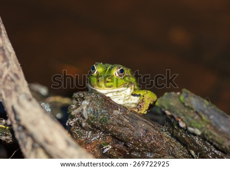 Head of green water frog (Rana lessonae), close up, selective focus