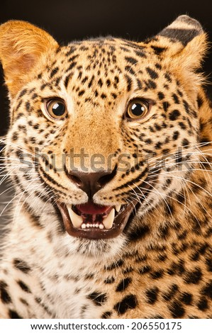 Head of growling leopard close up, on black background. - stock photo