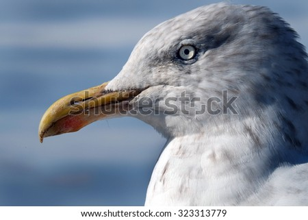 Head of Herring Gull.