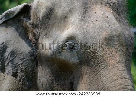 Head of Indian elephant close-up - stock photo