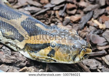 Head of indian python - stock photo