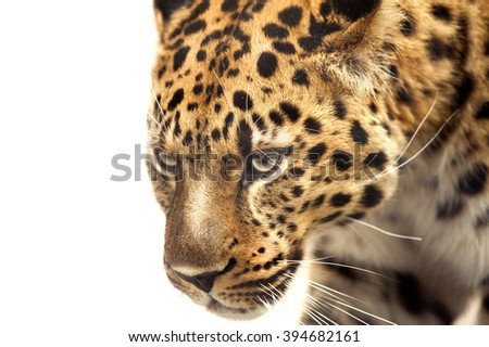 head of leopard isolated on white - stock photo