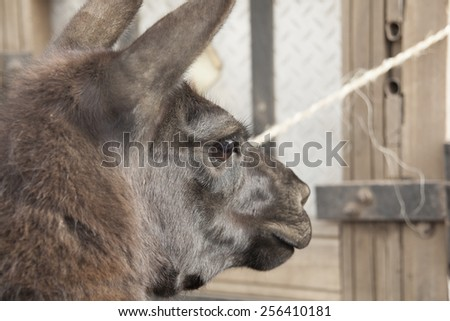 Head of llama (Lama glama) is a South American camelid, widely used as a meat and pack animal by Andean cultures since pre Hispanic times. Ecuador - stock photo