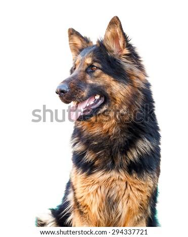 Head of long haired german shepherd dog looking happy - stock photo