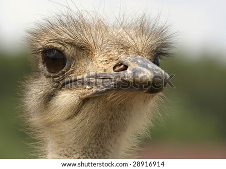 Head of Ostrich (Struthio camelus) - large flightless bird native to Africa. - stock photo