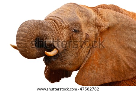 head of red elephant on white background - stock photo