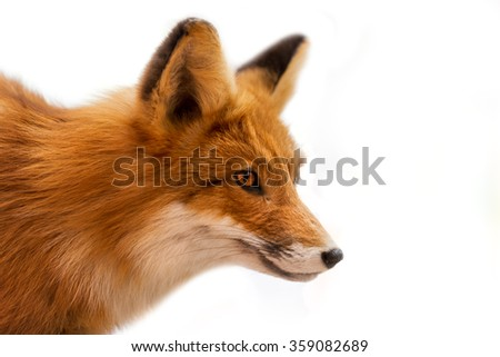 Head of Red Fox Isolated on White / Close up of a red fox isolated on white background