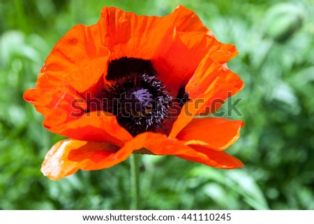 Head of red poppy with wavy petals and black stamen on blurred natural background - stock photo