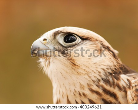 Head of saker falcon - falco cherrug