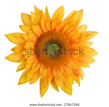 head of sunflower on white background - stock photo