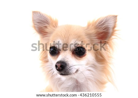 head of sweet chihuahua isolated on the white background - stock photo