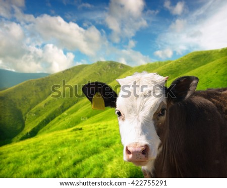 Head of the calf - stock photo