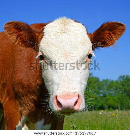 Head of the calf against a pasture - stock photo