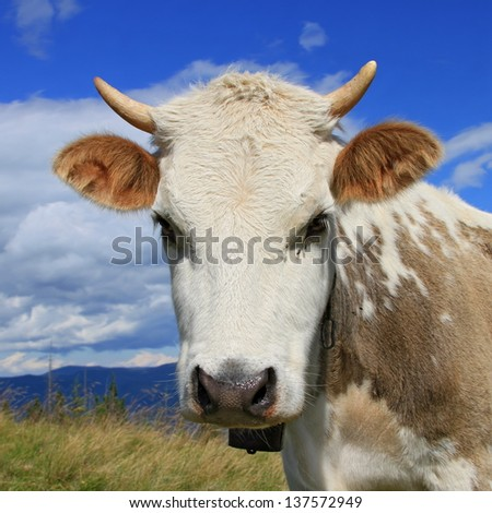 Head of the calf against mountains