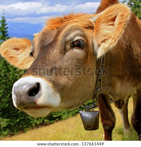 Head of the calf against mountains - stock photo