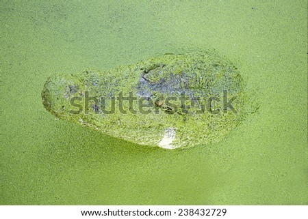 Head of the crocodile in the water. - stock photo