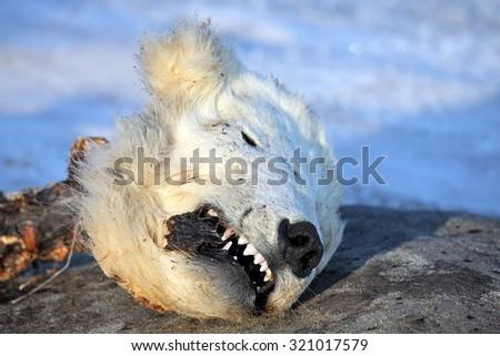 Head of the dead polar bear â?? young bear was killed by adult male bear - stock photo