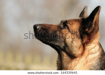 Guard Dog Stock Images Royalty Free Images Amp Vectors