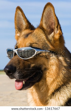 Head of the German shepherd with solar glasses