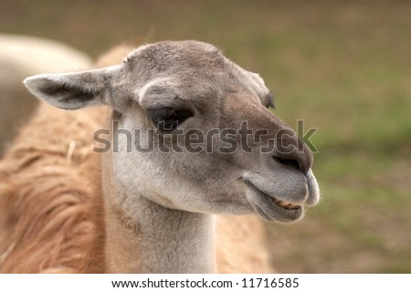Head of the llama on a natural background