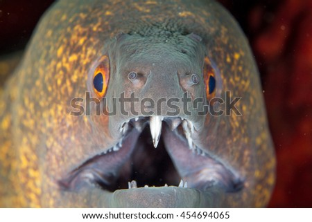 Head of the murray eel. Macro shot, portrait of the moray eel. - stock photo