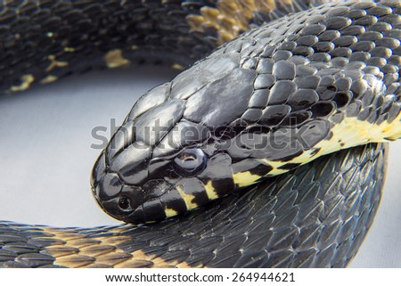 Head of the snake - Manchurian black water snake (Elaphe schrenckii) close-up - a rare species, is in the red book - stock photo