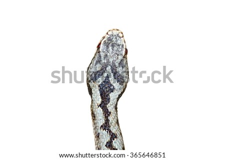 head of Vipera berus showing individual pattern ( Common adder ), isolation over white background - stock photo