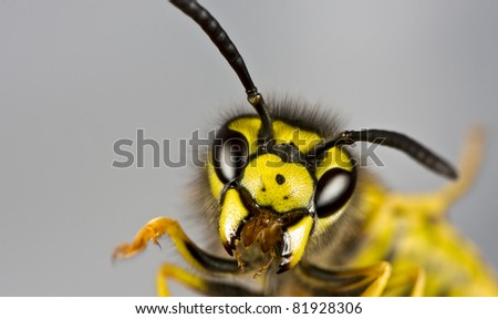 head of wasp in extreme close up with grey background - stock photo