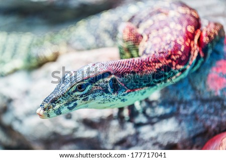 Head of water monitor lizard (Varanus salvator) close-up with very shallow depth of field - stock photo