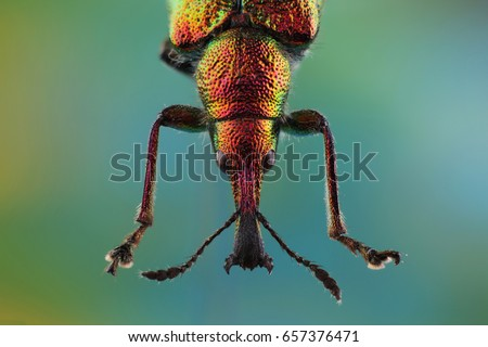 Head of Weevil (Rhynchites bacchus). Extreme macro