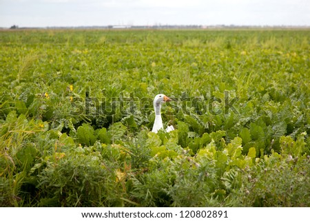 head of white goose with orange beak in field of green cabbage - stock photo