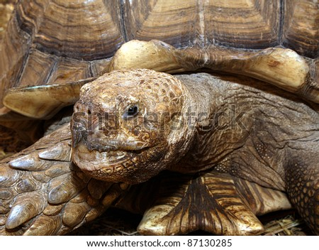 Head of 35 years old giant turtle - stock photo