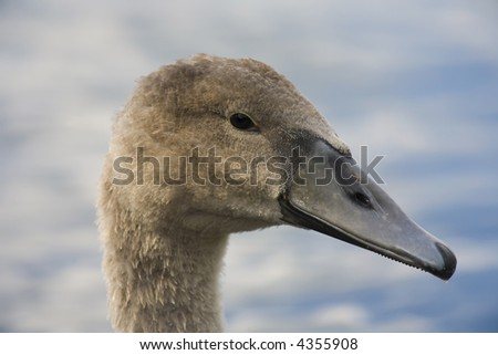 head of young swan - stock photo
