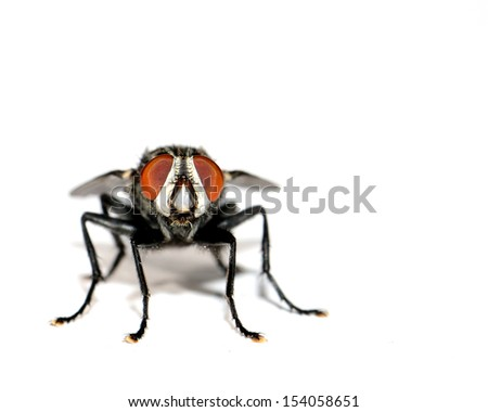 Head-On Macro Image Of A Common House Fly (Musca domestica) At Eye Level - stock photo