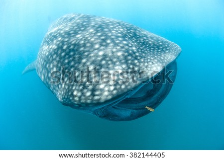 Head on photograph of a gentle whale shark swimming in very blue water