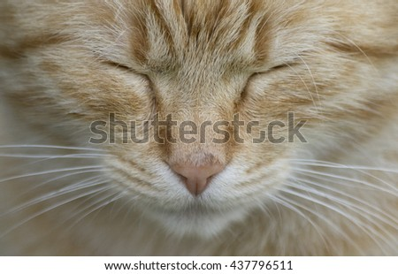 Head on take of ginger cat face. young cat with close eyes