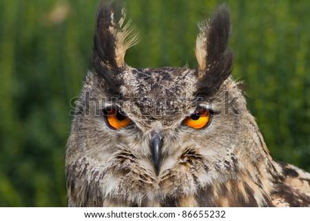 head owl eagle - stock photo