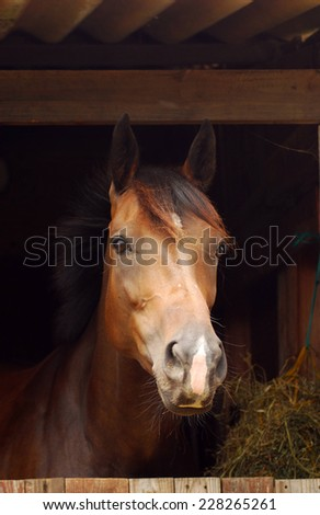 Head portrait of a brown attentive horse standing in the stable and watching (focus on horse's face).