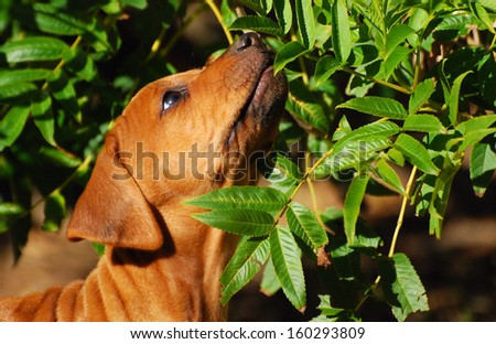 Head portrait of a cute little purebred Rhodesian Ridgeback hound dog puppy sniffing on green leaves of a bush outdoors in spring time.