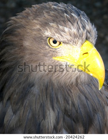 Head portrait of a eagle - stock photo