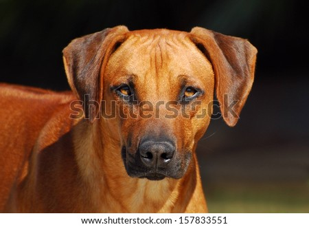 Head portrait of a young purebred Rhodesian Ridgeback male dog staring with attentive facial expression (focus on dog's eyes).