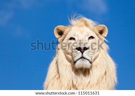 Head Portrait of Majestic White Lion against Blue Sky with Copy Space - stock photo